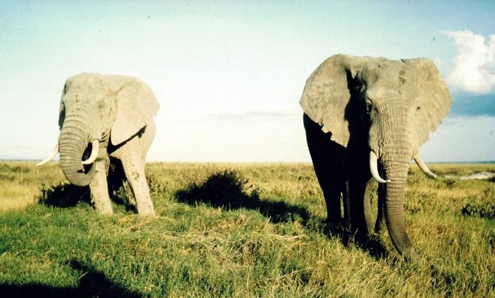 kenya elefanten 83.jpg